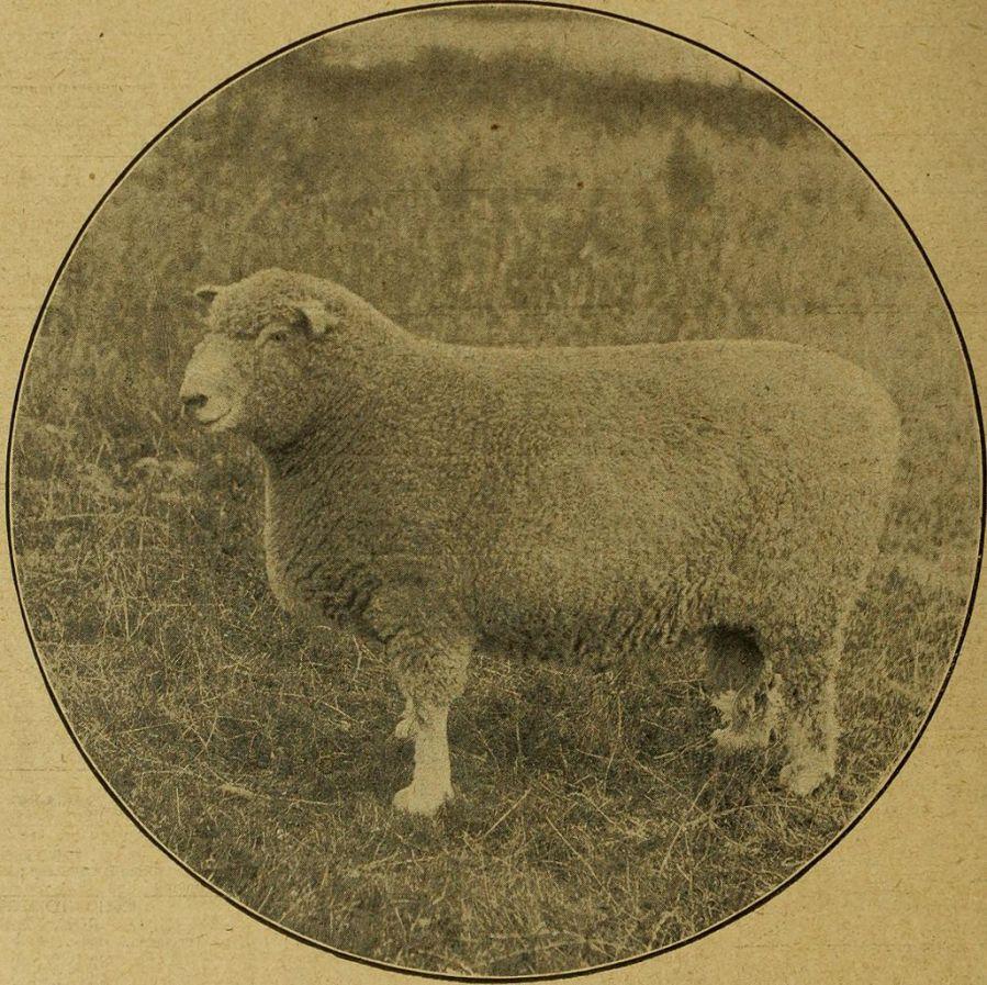 A Prize Ram (The Mark Lane Express, Wikimedia)